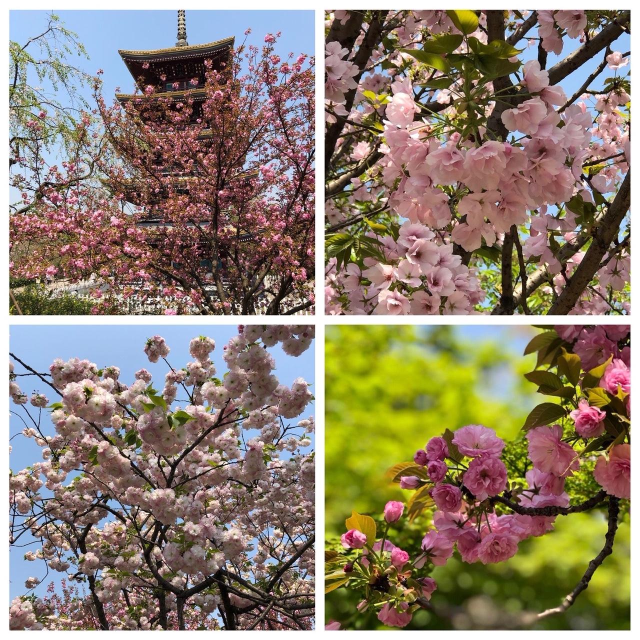 武漢•東湖風景区に咲く桜(2019年4月1日撮影)