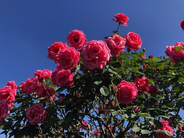 上海•青空のもと、鮮やかに咲くバラ